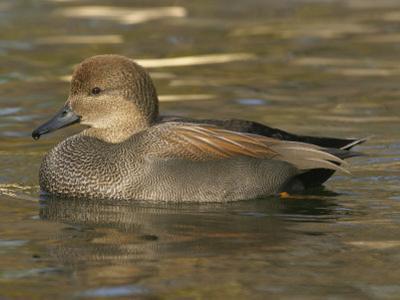 Male Gadwall Duck Swimming, Anas Strepera, North America