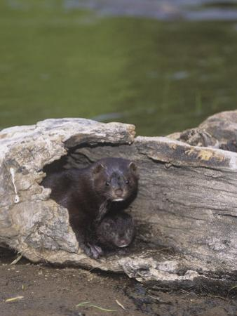 Mink and its Young in a Hollow Den Tree, Mustela Vision, North America by Jack Michanowski