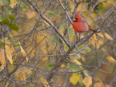 Northern Cardinal (Cardinalis Cardinalis) Male