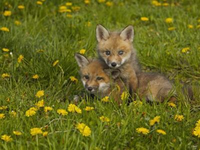 Red Fox Cubs Playing in a Field of Dandelions, Vulpes Vulpes, North America