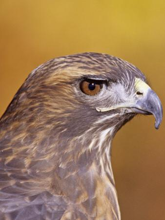 Red-Tailed Hawk, Buteo Jamaicensis, Head Showing its Eye and Bill, North America