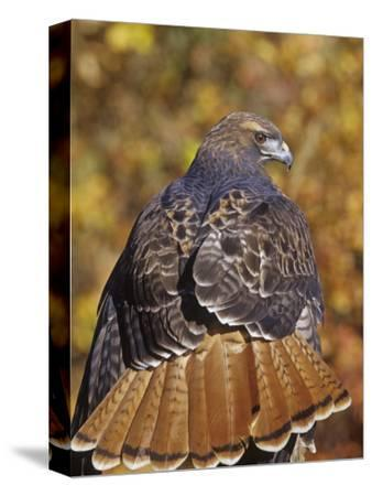 Red-Tailed Hawk, Buteo Jamaicensis, Perched While Hunting and Showing its Red Tail Feathers
