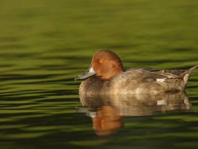 Redhead Duck Male on Water, Aythya Americana, North America