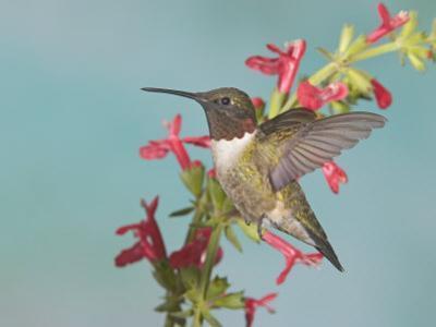 Ruby-Throated Hummingbird, Archilochus Colubris, Male, Eastern North America