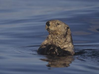 Sea Otter, Enydra Lutris, Surfacing from a Dive, California, Usa, Pacific Ocean by Jack Michanowski