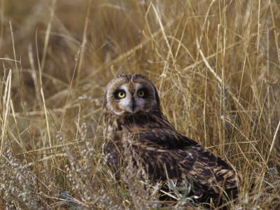 Short-Eared Owl (Asio Flammeus) Standing in Low Vegetation, Colorado, USA