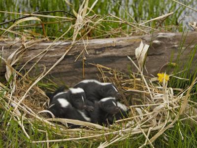 Striped Skunk Babies in their Nest, Mephitis Mephitis, North America