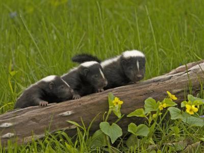 Striped Skunk Babies, Mephitis Mephitis, North America