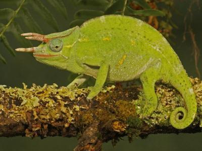 Usambara 3-Horn Chameleon, Chamaeleo Deremensis