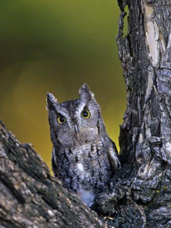 Western Screech Owl in a Coniferous Forest, Otus Kennicotti, Western North America