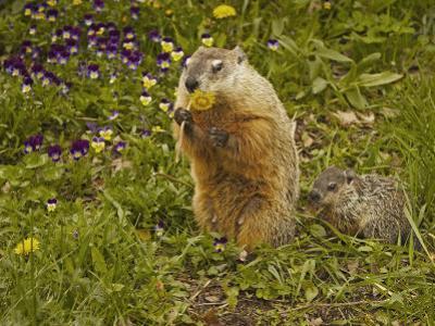 Woodchuck, Marmota Monax, or Groundhog Eating a Dandelion, Eastern North America