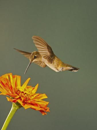 Black-Chinned Hummingbird Hovering Above Flower That it Will Seek Nectar from and Pollinate