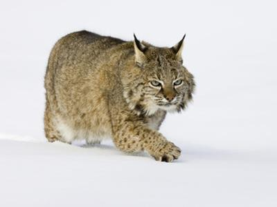 Bobcat (Lynx Rufus) Walking in the Snow