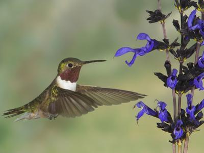 Broad-Tailed Hummingbird (Selasphorus Platycercus) Male Flying at Salvia (Salvia Guaranitica)