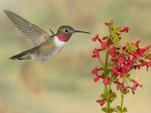 Broad-Tailed Hummingbird (Selasphorus Platycercus) Male Flying at Texas Betony (Stachys Coccinea) by Jack Milchanowski