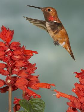 Broad-Tailed Hummingbird (Selasphorus Platycercus) Male Flying by Jack Milchanowski