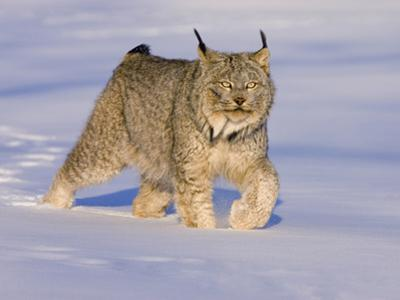 Eurasian Lynx (Lynx Lynx) Walking in the Snow