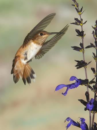 Female Rufous Hummingbird (Selasphorus Rufus) Flying at Salvia (Salvia Guaranitica)