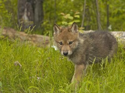 Gray Wolf (Canis Lupus) Captive