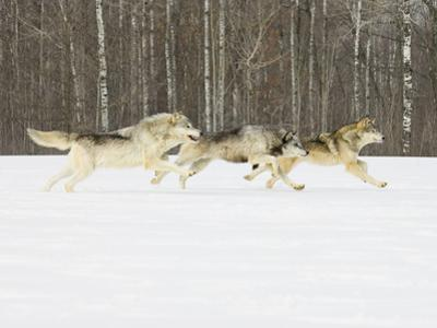 Gray Wolves (Canis Lupus) Running in the Snow with Birch Trees in Background, Northern Minnesota