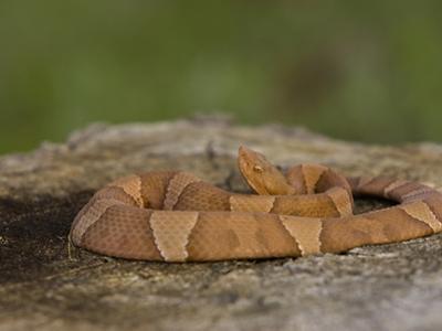 Southern Copperhead (Agkistrodon Contortrix Contortrix) on Oak Stump, Texas, USA