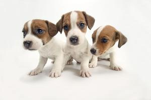 Jack Russel Terrier, Three Puppies