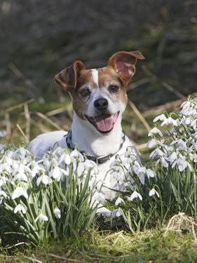 Jack Russell in Snowdrops
