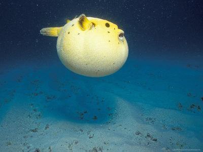 Pufferfish, Galapagos Islands, Ecuador