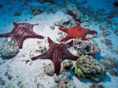 Sea Stars, Hood Island, Galapagos Islands, Ecuador