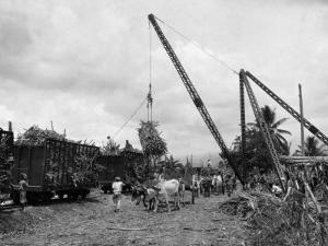 Cranes Load Large Bundles of Sugar Cane for Transportation to Markets by Jacob Gayer