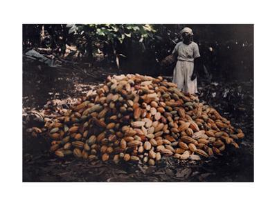 Women Gathers Cacao Plant for Seeds of Chocolate and Cocoa to Sell by Jacob Gayer
