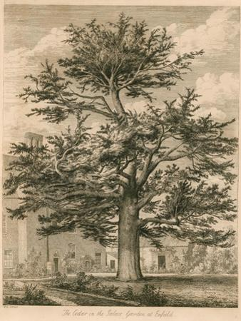 The Cedar in the Palace Garden at Enfield, Middlesex