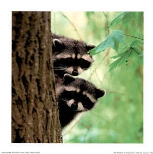 Baby Racoons by Jacob Tapochamer