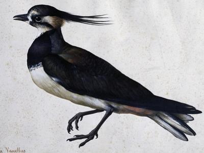 Tringa Vanellus (Lapwing) by Jacopo Ligozzi