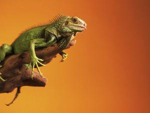Iguana by Jacque Denzer Parker