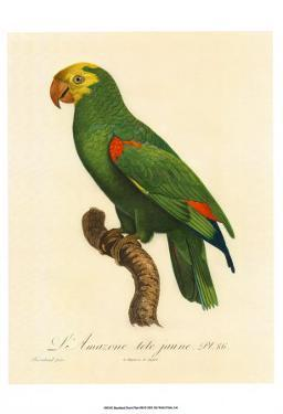 Barraband Parrot No. 86 by Jacques Barraband