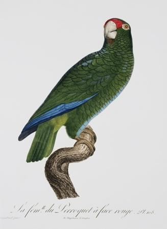 Female Puerto Rican Parrot by Jacques Barraband