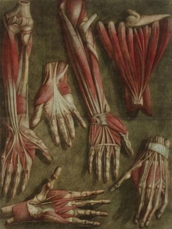 A Group of Dissected Hands, 1745-46