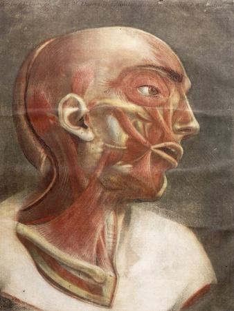 Anatomical Head, from 'Myologie Complete En Couleur Et Grandeur Naturelle', 1746