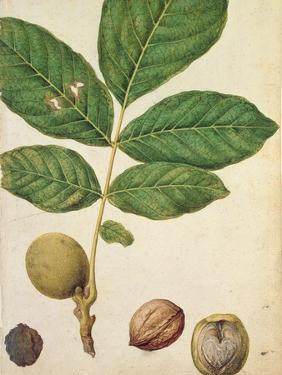 Walnut, c.1568 by Jacques Le Moyne