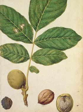 Walnut, c.1568 by Jacques Le Moyne