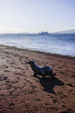 A Galapagos Sea Lion on the Red Sand Beach of Rabida Island by Jad Davenport