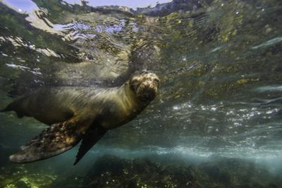 A Galapagos Sea Lion Pup Playing Underwater by Jad Davenport