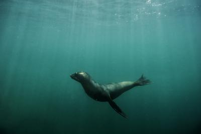 A Galapagos Sea Lion Pup Playing by Jad Davenport
