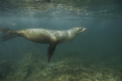 A Galapagos Sea Lion Swimming in the Sea by Jad Davenport