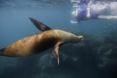 A Galapagos Sea Lion Swimming with a Snorkeler by Jad Davenport
