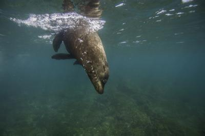 A Galapagos Sea Lion Swimming by Jad Davenport