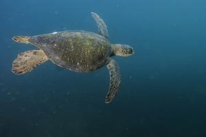 A Green Sea Turtle Swimming Underwater by Jad Davenport