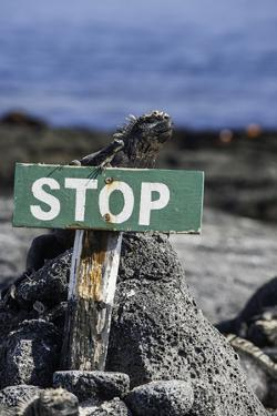 A Marine Iguana and Small Lava Lizard Rest on Top of a Warning Sign by Jad Davenport