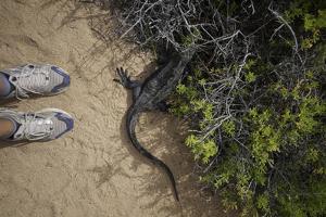 A Tourist Observes a Galapagos Land Iguana on a Trail by Jad Davenport